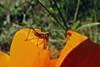 Katydid nymph on a poppy (TJ Gehling) Tags: insect orthopterta ensifera tettigoniidae katydid nymph katydidnymph plant flower ranunculales papaveraceae poppy goldenpoppy californiapoppy californiagoldenpoppy eschscholzia eschscholziacalifornica centennialpark fairmontpark communitygarden elcerrito