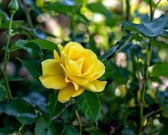 Yellow Rose (sibnet2000) Tags: flor rosa amarilla rosaamarilla rose yellowrose flower canon5dmarkiv