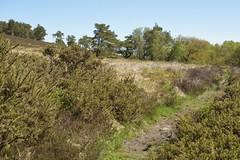 HeathenPath (Tony Tooth) Tags: nikon d7100 nikkor 35mm f18g countryside landscape heath moors moorland may warslow footpath staffs staffordshire staffordshiremoorlands