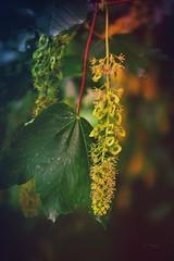 Tree and bloom .. (Julie Greg) Tags: bloom tree leaf nature park colours canon5dmarkiv