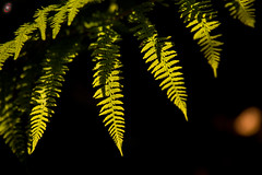 Fern meets sunshine (Real_Aragorn) Tags: farn fern