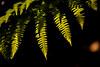 Fern meets sunshine (Real_Aragorn) Tags: farn fern