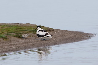 Avocet Family 2