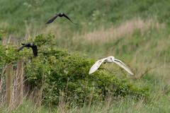 Barn Owl under attack (Richard J Hunt) Tags: wildlife attack chase barnowl owl luntmeadows canon700d birdwatching bird