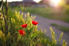 The sun it's rising (Baubec Izzet) Tags: baubecizzet pentax bokeh flower red morninglight flickrunitedaward