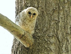 Another Little Owlet! (bearbear leggo) Tags: owlet barred owl baby ontario wildlife new cute raptor curious bird exploring sweet tree branch