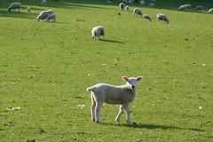 (steve p2008) Tags: may2018 sheep