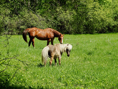 A mare and a pony at The Log Farm in Nepean (Ottawa), Ontario (Ullysses) Tags: thelogfarm lavieilleferme nepean ottawa ontario canada spring printemps mare horse cheval pony ferme farm
