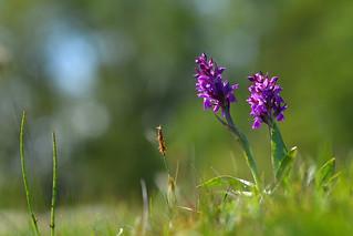 Western marsh orchid - Dactylorhiza majalis
