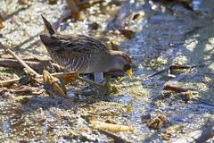_LD_1551 (romain-dreux-photo) Tags: marouettedecaroline nature sora porzanacarolina birds