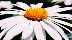 {Margheritona} (martinasabbatini) Tags: nature natura nikond3000 sanvitoromano italy macro flora flowers fiori flower fiore white bianco giallo yellow corona margheritona margherita