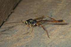 Parasitoid wasp in Anomaloninae (GeeC) Tags: animalia anomaloninae antsbeeswasps arthropoda cambodia hymenoptera ichneumonidae ichneumonoidea insecta kohkongprovince nature tatai