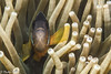 Japan_IzuPeninsula_Osezaki-20180422-0332-2 (mtv1983) Tags: diving izu japan osezaki anemone anemonefish beautiful beautifulcreature blueocean closeup clownfish colorful conservation corareef coral diver eel fish fishface frog frogfish macro macrophotography marineconservation marinelife moray morayeel nature nemo nudibranch ocean reef scuba scubadiving sea sealife seaslug smallcreature underwater underwaterphotography wildlife