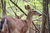 White-tailed deer (bkjones857) Tags: forest trees animal deer whitetail whitetailed park nature outdoors wildlife spring