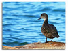 Chestnut Teal Duck Hen (Bear Dale) Tags: chestnut teal duck south coast new wales australia nikon d850