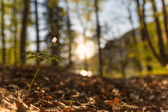 Blümchen mit dem Weitwinkel (►susa◄) Tags: sigma art 20 14 ww weitwinkel sunrise flower buschwindröschen wald trees waldboden sylvenstein bokeh