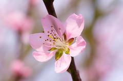 Blossom (ErrorByPixel) Tags: flora pentaxart errorbypixel nature spring blossom flower tree fruit macro
