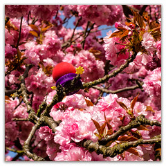 Lost and Found... (Silke Klimesch) Tags: 7dwf macroorcloseup hanami テレビ朝日 花見 桜 sakura prunusserrulata 物の哀れ mononoaware tvasahikirschblütenallee berlin teltow mauerweg tvasahi cherryblossom cherryblossomseason kirschblüte japanischekirschblüte floaredecireș fleurdecerisier fiorediciliegio flordecerezo flordecerejeira kwitnąceczereśnie cseresznyevirág саку́ра 樱花 pink beautiful flowers frame white imageborder mzuikodigitaled60mm128macro olympus omd em5 microfourthirds toy ball joy yellow