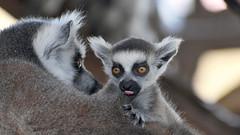 Nachwuchs bei den Kattas (karinrogmann) Tags: katta lemur nachwuchs ringtailedlemur offspring lemurecatta cucciolo zooschönbrunn wien explore7