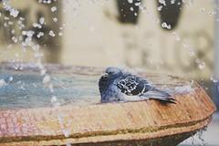 PG (aleksafox) Tags: birds bird whitebackground lightexpression light waterfall waterreflection watercolors animal water pigeon dove fountain wood