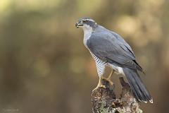 AZOR (Carlos Cifuentes) Tags: azor azorcomún accipitergentilis northerngoshawk wildlife wildlifenature nature carloscifuentes bird birds