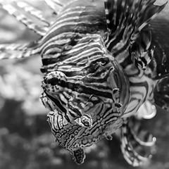 Rotfeuer (CarSaBe) Tags: fish fisch firefish rotfeuerfisch animal tier water wasser lumix lumix100 licht light black white eye auge face gesicht flosse zoo aquarium