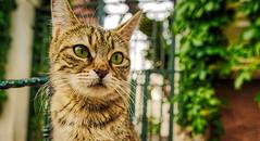 my little lion, kinali island, istanbul (tuncay demirbilek) Tags: cat animal pet tree green cats feline