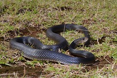Coastal Taipan (Oxyuranus scutellatus) (shaneblackfnq) Tags: coastal taipan oxyuranus scutellatus shaneblack snake reptile venomous dangerous elapid eastern innisfail garradunga fnq far north queensland australia tropics tropical eubenangee