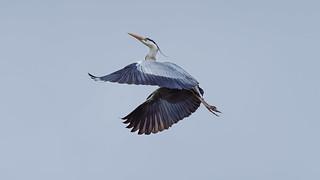 Heron in flight (3/3) : Climbing