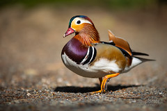 Up, Close and Personal with a Mandarin. (www.neilporterphotography.com) Tags: mandarin duck bird wildlife nature shallow depth field stover park lake water