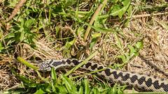 adder (JOHN BRACE) Tags: vipera berus adder uks only venomous snake seen british wildlife centre surrey england