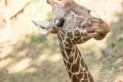 Walter (shutterbugdancer) Tags: africansavanna animals reticulatedgiraffe fortworthzoo fortworth