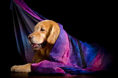 Portrait of a Dog (bztraining) Tags: 118 dogchal henry odc bzdogs bztraining golden retriever 3652018 100xthe2018edition 100x2018 image41100