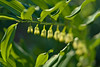 Solomon's Seal (pstenzel71) Tags: blumen natur pflanzen salomonssiegel solomonsseal polygonatum flower spring frühling darktable bokeh