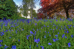 Sunny Bluebells (JKmedia) Tags: spring may 2018 cornwall lanhydrock nationaltrust boultonphotography bluebells blue green sunny warm trees sun wide