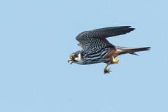 Hobby May 2018 (jgsnow) Tags: bird raptor falcon hobby feeding