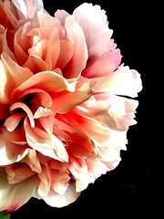 Mayflower (David BlueFox) Tags: beautiful may mai bouquet petals pétales light lumière picture like4like day flickr instagram nature word rose pink contrast flowers fleurs pivoine