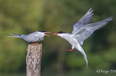 C'est le geste qui compte, tout le monde l'aura compris ;-) (Régis B 31) Tags: charadriiformes commontern laridés sternahirundo sternepierregarin ariège bird domainedesoiseaux mazères oiseau vol offrande occitanie midipyrénées