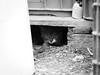3645 - Bruto (Diego Rosato) Tags: hidden nascosto kitten gattino gatto cat animale animal pet fuji x30 rawtherapee bianconero blackwhite bruto
