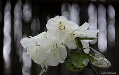 White Rhododendrons on a rainy day (JSB PHOTOGRAPHS) Tags: jsb3899 rhododendrons rhododendron flowers bokehlicious bokeh nikon d3 28300mm hendrickspark eugene rain rainyday rainy