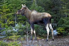 Another Moose (Zircon_215) Tags: moose alcesalces wildlife newfoundlandwildlife route480 westernnewfoundland yearling youngmalemoose youngbullmoose sigmasport