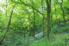 Into the Blue (worldthroughalens74) Tags: bluebells wildflowers nature outdoors spring woodland green trees canon sigma