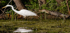 Great egret and alligator (77406 Photography (Mark)) Tags: great egret alligator
