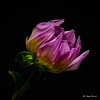 Dahlia (Magda Banach) Tags: canon canon80d sigma150mmf28apomacrodghsm blackbackground buds colors dahlia flora flower green lilac macro nature plants