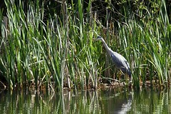 IMG_0265 (Alex Veness98) Tags: canon 7d gosling heron wildlife