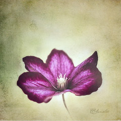 First Clematis by RoCafe -