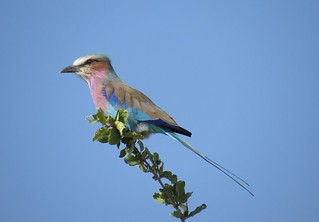 Lilac-breasted Roller / Gewone Troupant