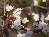 Plum Tree 20160211 (caligula1995) Tags: 2016 flowers honeybee morning plumtree