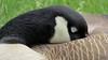 Sleepy Goose (shesnuckinfuts) Tags: canadagoose brantacanadensis goose backyard kentwa shesnuckinfuts april2018 nature widlife waterfowl sleepy