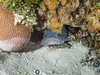 Splendid Toadfish (R. Donald Winship Photography) Tags: aquaticlife cozumel divingunderwater paradisereef splendidtoadfish